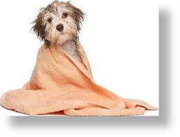 Freshly bathed dog with towel